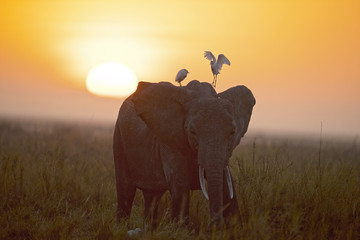 Kenya Africa Amboseli reserve, elephant at sunrise.
