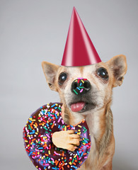 cute photo of a funny chihuahua isolated on a gray background eating a giant chocolate doughnut with colorful sprinkles on his tongue and nose with a birthday party hat