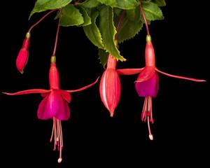 Hanging Fuchsias