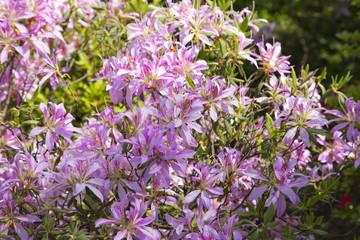 Azalea garden in Nezu shrine