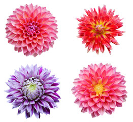 Foto auf Acrylglas Dahlie colection dahlia flowers isolated on white background