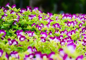 Pansy, purple flowers