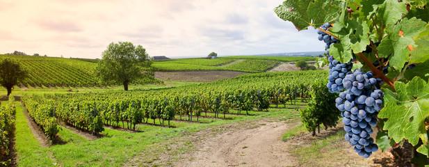 Grappe de raisin et vigne, paysage de France