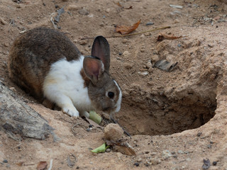 White and brown rabbit in front of the hole in a zoo