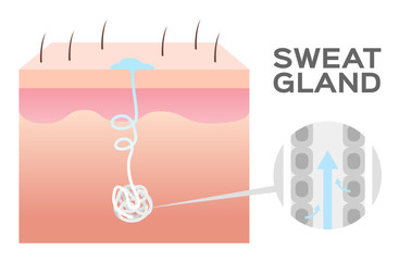 sweat gland vector / skin