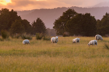 Farm sheep on green glass with sunset tone, New Zealand natural landscape background