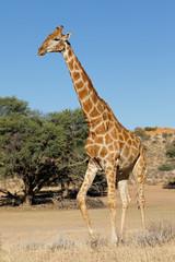 A giraffe (Giraffa camelopardalis) in natural habitat, Kalahari desert, South Africa