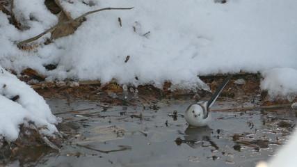 雪の水溜りに舞い降りた可愛い野鳥はシマエナガ._7