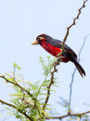 Double-toothed barbet perched on acacia tree branch