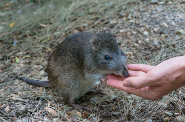 Australian potoroo hand-feeding