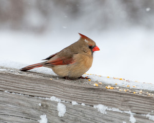 FeMale Cardinal Perched