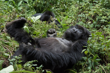 Mountain Gorilla resting in forest clearing in national park Rwanda