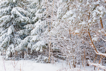 Winter forest with snow