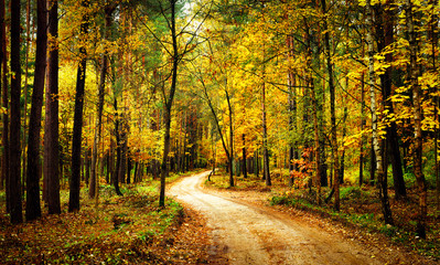 Golden autumn forest with walk path. Scenery colorful forest with yellow trees. Fall. Scenic nature.