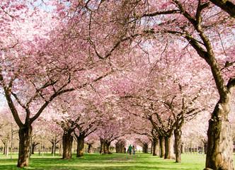 Wall Mural - Japanische Kirschblüten, Glückwunsch, Lebensfreude, alles Liebe: Verträumte zarte Kirschblüten vor blauem Frühlingshimmel :)