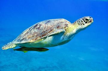 Chelonia mydas and Echeneis naucrates (Зеленая черепаха и Обыкновенный прилипало)