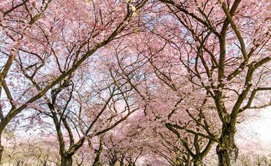 Fototapete - Japanische Kirschblüten, Glückwunsch, Lebensfreude, alles Liebe: Verträumte zarte Kirschblüten vor blauem Frühlingshimmel :)