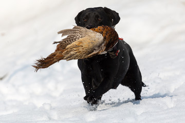 Pheasant hunting with black dog in snow