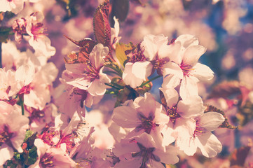 Spring the cherry blossoms. Vintage.