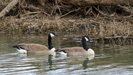 Pair of Canada Geese swimming on still water.