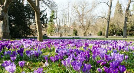 Frühlingserwachen, Ostergruß, Blütenzauber, Alles Liebe, Blütenmeer, Glück, Freude: Wiese mit zarten Krokussen :)