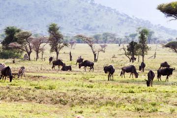 The blue wildebeest (Connochaetes taurinus), also called the common wildebeest, white-bearded wildebeest or brindled gnu, Tarangire National Park, Tanzania