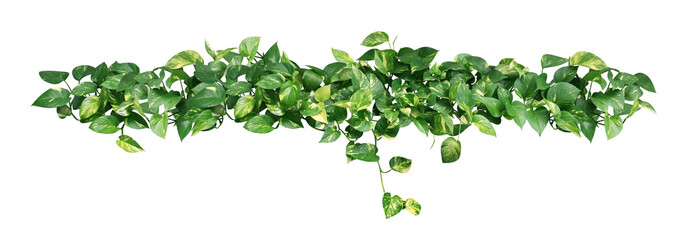 Poster Vegetal Heart shaped green yellow leaves of devil's ivy or golden pothos isolated on white background, clipping path included.