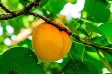 Ripe apricot fruit on branch