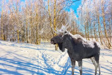 Magnificent elk on ski road