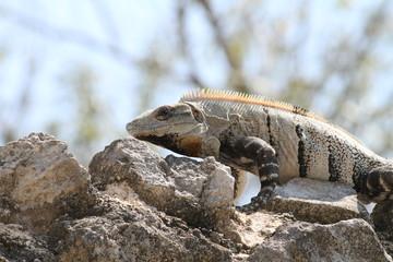 Iguana Acostada