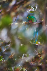 Threatened Resplendent Quetzal, Pharomachrus mocinno, colorful long-tailed tropical bird. Red and sparkling green bird in rainforest environment. View through blurred leaves of wild avocado tree.