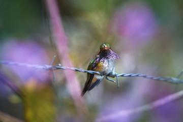Volcano hummingbird, Selasphorus flammula, male with brilliant wine-colored gorget, rare tiny bird, restricted to Highlands of Costa Rica and Panama. Cordillera de Talamanca, Costa Rica.