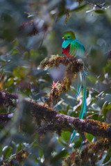 Resplendent Quetzal, Pharomachrus mocinno, long-tailed tropical bird, known for its colorful plumage. Red and green sacred  bird. Symbol of cloudforest wildlife. Cordillera de Talamanca, Costa Rica.