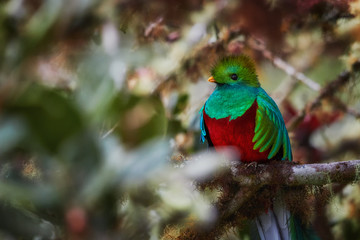 Portrait of Resplendent Quetzal, Pharomachrus mocinno, red and sparkling green, long-tailed tropical bird, sacred to Maya and Aztec peoples. Symbol of rainforest wildlife. Talamanca, Costa Rica.