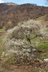 Landscape with blooming pear tree