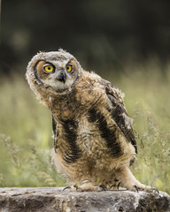 Fototapete - Great Horned Owl Baby