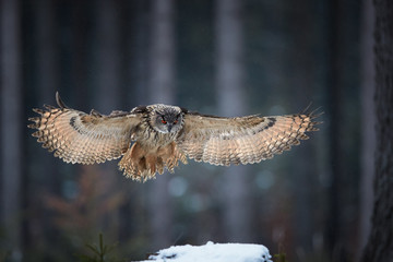 Eagle owl, Bubo bubo, giant owl flying directly at camera with fully outstretched wings, against abstract winter background. Owl with bright orange eyes in european forest. Czech highlands.