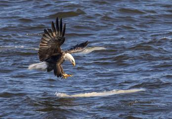 Bald eagle (Haliaeetus leucocephalus) landing on the drifting ice, Mississippi River, Iowa, USA