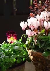 ビオラとシクラメンの鉢植え
