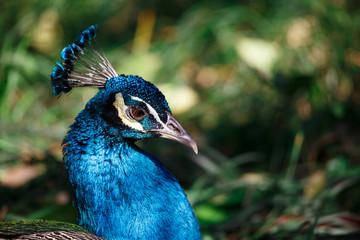 A peacock lies on the grass