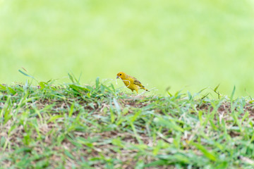 Little yellow bird holding plastic with the beak