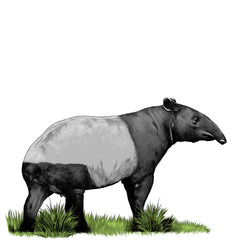 tapir standing in the grass sketch vector graphics color picture