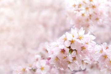 Fotomurales - Sakura cherry blossom flower bloom in spring season. Vintage sweet soft tone.