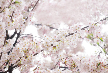 Wall Mural - Sakura or cherry blossom spring flower full bloom in season.