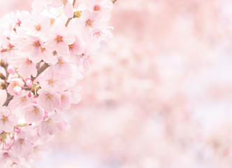 Wall Mural - Vintage sweet soft tone of sakura or cherry blossom flower full bloom in spring season.