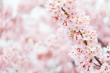 Wall Mural - Sakura or cherry blossom flower full bloom in spring season.