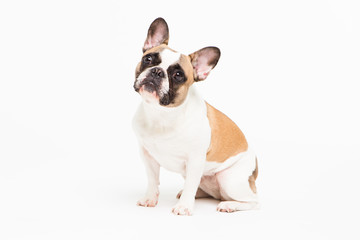 portrait of a French bulldog on a white background. cheerful little dog with a funny face sitting