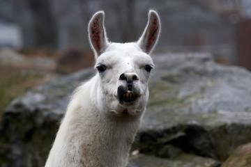 llama in zoo