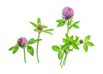 nice and fresh summer flowers red wild field or forest clover ready for pattern on wallpaper or packages isolated on white background