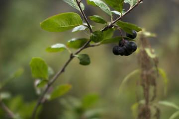 Black Chokeberry on a branch in an autumn garden.